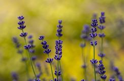 Lavender plant latin Lavandula angustifolia. Close up stock photos