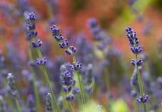 Lavender plant latin Lavandula angustifolia. Close up royalty free stock photography