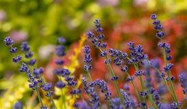 Lavender plant latin Lavandula angustifolia. Close up stock photo