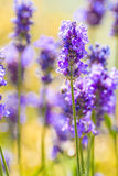 Lavender. Plant (Lavendula officinalis) in its natural wild habitat from Jijel, Algeria stock images