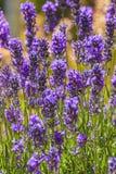 Lavender. Plant (Lavendula officinalis) in its natural wild habitat from Jijel, Algeria royalty free stock photo