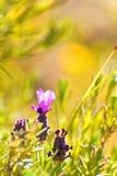 Lavender. Plant (Lavendula officinalis) in its natural wild habitat from Jijel, Algeria stock photos