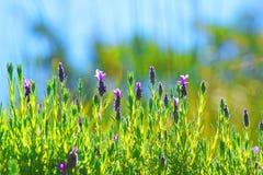 Lavender. Plant (Lavendula officinalis) in its natural wild habitat from Jijel, Algeria stock image