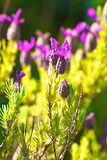 Lavender. Plant (Lavendula officinalis) in its natural wild habitat from Jijel, Algeria royalty free stock image