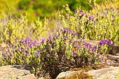Lavender. Plant (Lavendula officinalis) in its natural wild habitat from Jijel, Algeria stock photo