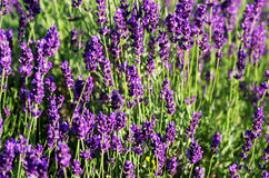 Lavender plant. Macro of lavender plant. herbal landscape of aromatic plant stock image