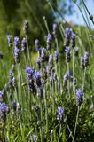 Lavender plant,nature. Fragrant lavender plant is a plant used in alternative medicine as a sedative stock photography