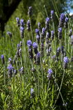 Lavender plant,nature. Fragrant lavender plant is a plant used in alternative medicine as a sedative stock image