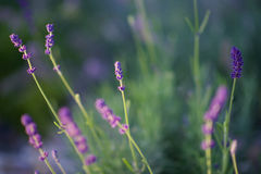 Lavender plant Royalty Free Stock Photography