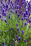 Lavender plant in summer Stock Images