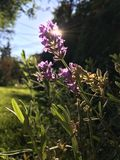 Lavender plant in sunshine. Purple lavender flower silhouetted against sun in grassy garden Stock Images