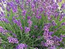 Lavender plant in top view. A Lavender plant in top view royalty free stock photos