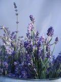 Lavender plant stock photo