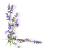 Lavender plant on white background. Top view with copy space. Aromatic herbs royalty free stock images