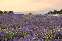 Lavender plantation in French Provence Royalty Free Stock Photography
