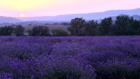 Lavender Plantation stock video footage