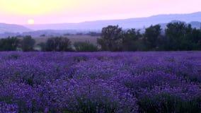 Lavender Plantation stock video footage