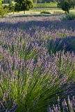 Lavender plants Royalty Free Stock Photos