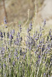 Lavender plants. Lavender plants in their natural environment stock photo