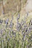 Lavender plants. Stock Photo