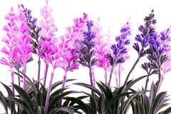 Lavender Plants Stock Photo