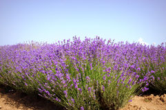 Free Lavender Plants Stock Photography - 61404602