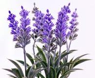Lavender plants. A closeup of blue silk lavender plants royalty free stock photos