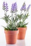 Lavender plants. A closeup of blue silk lavender plants in terracotta pots stock photos
