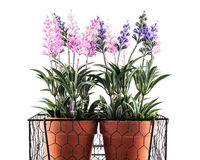 Lavender plants. A closeup of pink and blue silk lavender plants in terracotta pots stock image