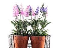 Lavender plants Stock Image