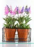 Lavender plants Stock Images