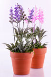 Lavender plants. A closeup of pink and blue silk lavender plants in terracotta pots royalty free stock photo