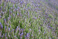 Lavender in bloom Stock Photos
