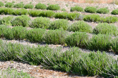 Lavender plants growing in rows Stock Image