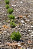 Lavender plants growing in rows Royalty Free Stock Photography