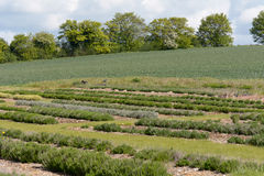 Lavender plants growing in rows on farm Stock Photo