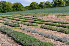 Lavender plants growing in rows on farm Royalty Free Stock Images