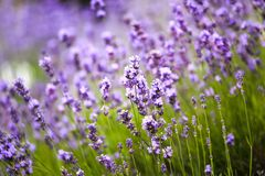 Lavender Plants in a Meadow with Blurred Background. Natural Pattern. Aromatheraphy.  royalty free stock photos