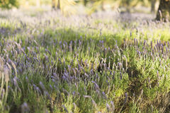 Lavender plants in the park of a university. Stock Images