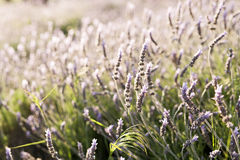 Lavender plants in the park of a university. Stock Photos