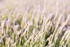 Lavender plants in the park of a university. Stock Photo