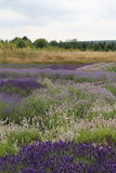 Lavender Plants. A patchwork field of various types and colours of lavender plants in full flower royalty free stock photo