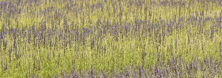 Lavender Plants, San Diego County, California Stock Photo