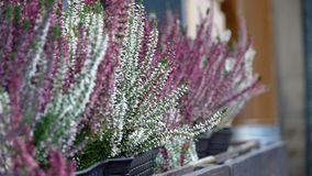 Lavender plants on the window. Lavender white and violet plants on the window stock photo