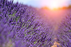 Lavender. The plateau of Valensole in Provence Stock Images