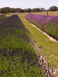 Lavender plot Stock Photography