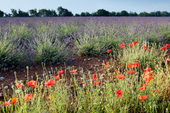 Lavender and poppies. Poppies next to the lavender fields of the French Provence near Valensole Stock Image