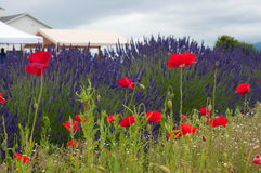 Lavender and poppies Stock Image