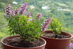 Lavender potted plants in a garden Royalty Free Stock Photo