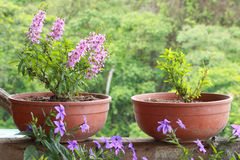 Lavender potted plants in a garden Stock Images